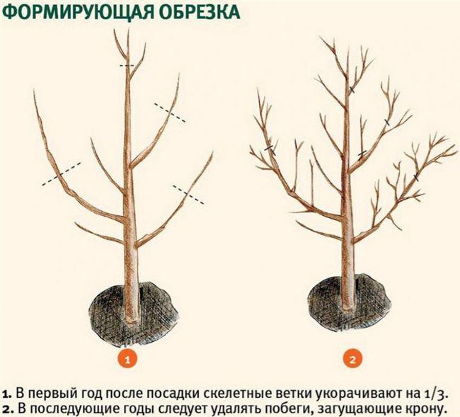 Обрезка и формировка кроны