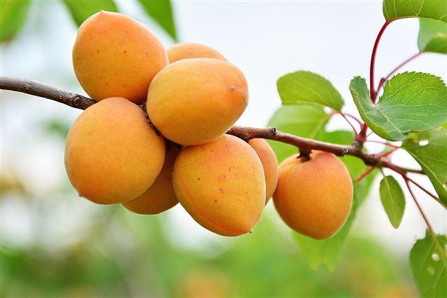 Зимовка абрикоса в средней полосе
