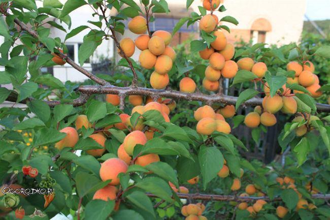 Уход за абрикосом в саду