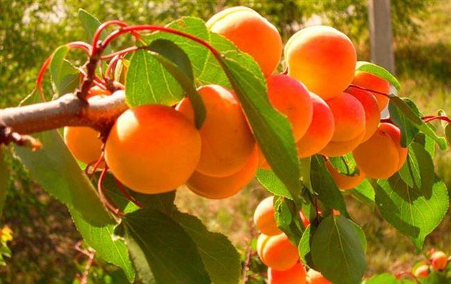 Полив абрикосовых деревьев