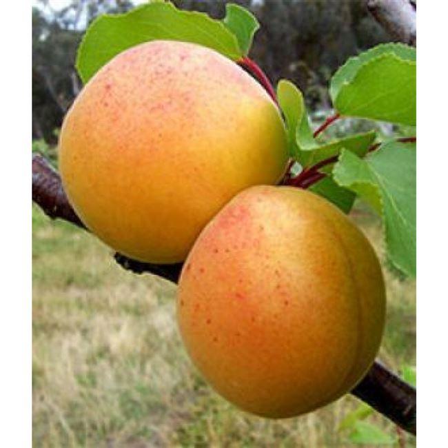 Как опыляется абрикос Орловчанин – самоплодный или нет