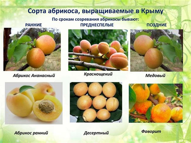 Сроки созревания и урожайность