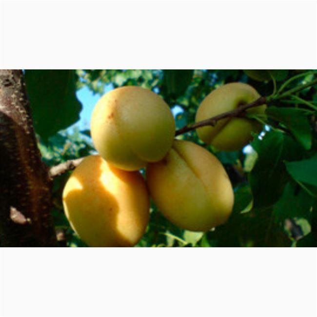 Отзывы садоводов об абрикосе Ананасный