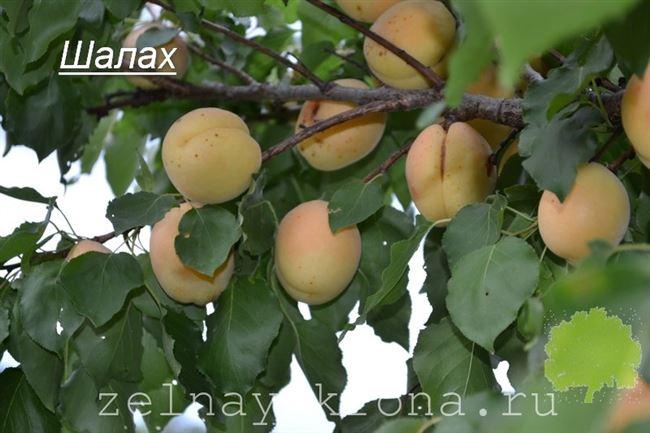 Обрезка абрикоса Ананасовый (Шалах)