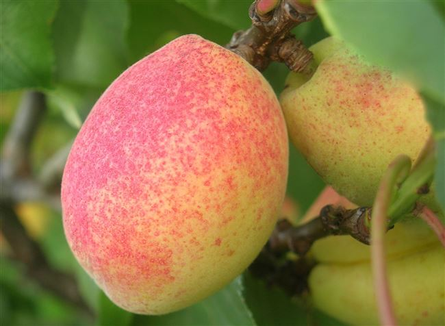 Болезни и вредители абрикоса Ананасный (Шалах)