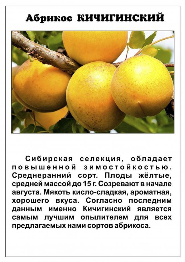 Особенности ухода за абрикосом сорта Кичигинский
