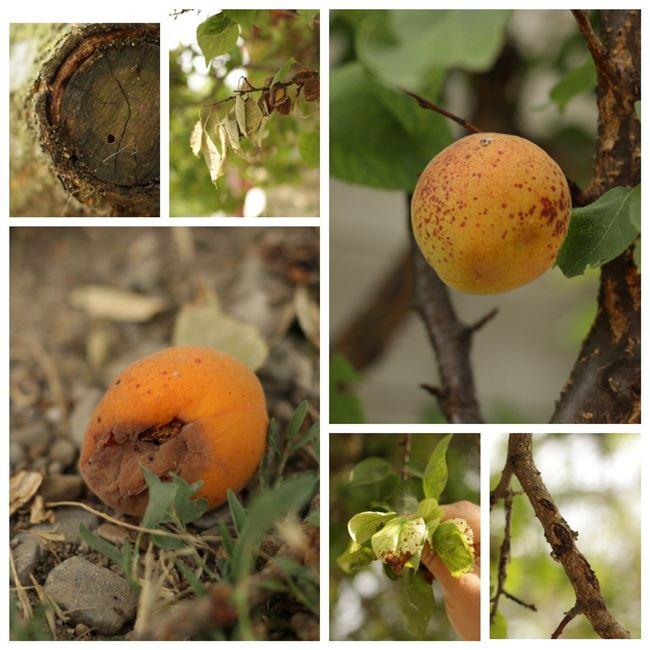 Болезни и вредители абрикоса