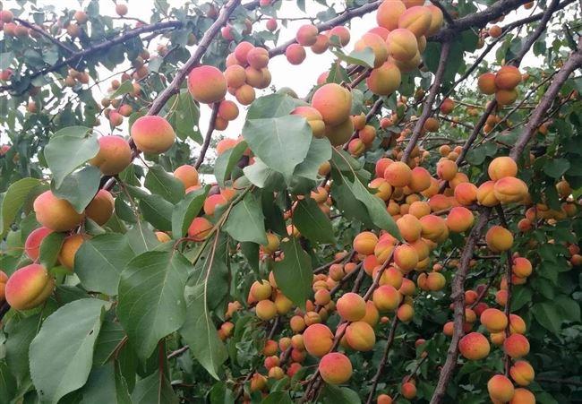 Посадка и уход за абрикосом