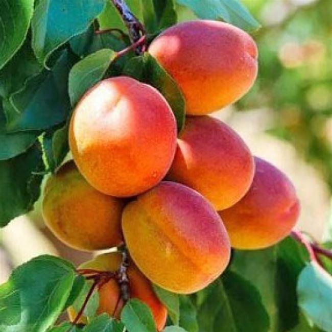 Зимостойкость абрикоса Сын краснощекого