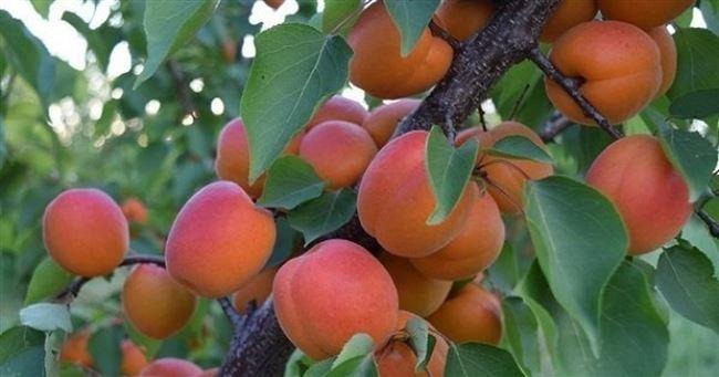 Нужен ли опылитель для абрикоса Сын краснощекого