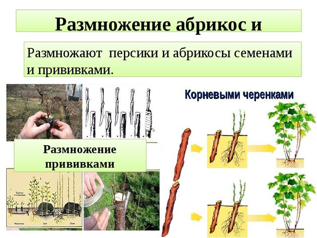 Разведение зелеными черенками