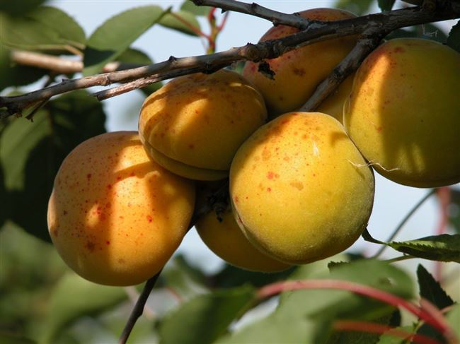 Видео: выращивание абрикосов в суровом климате