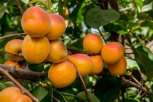 Уход засаженцем абрикоса