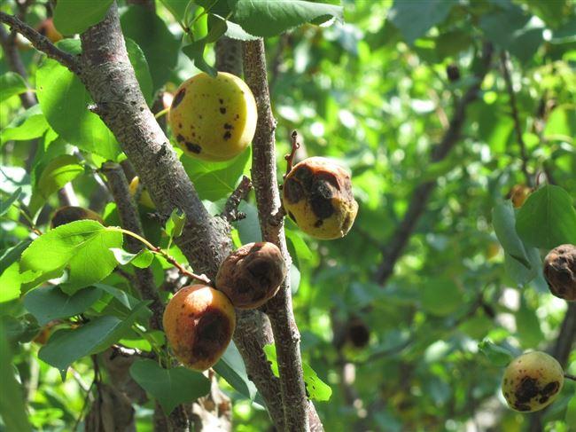 Болезни абрикосовых деревьев, их описание и причины появления