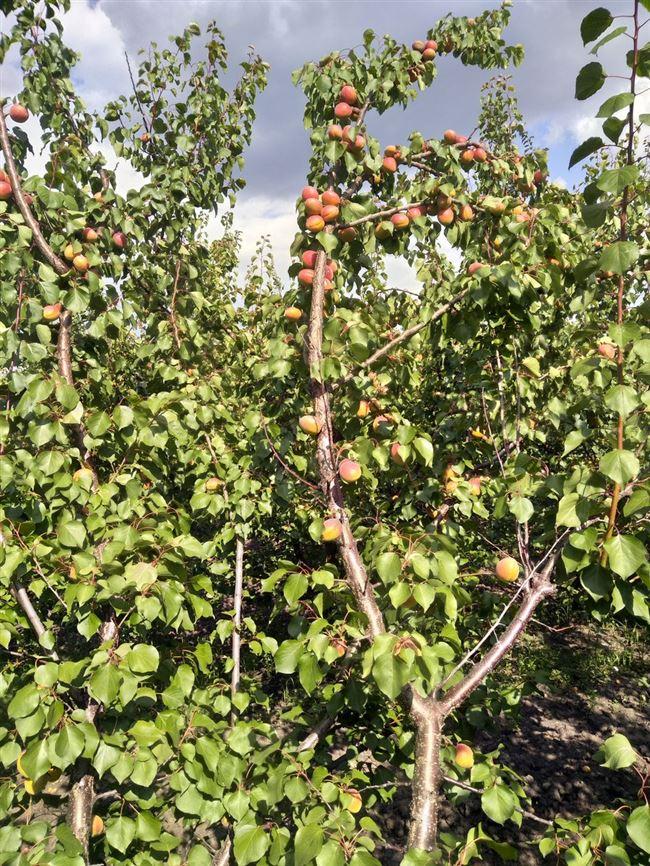 Посадка абрикоса, пошаговая инструкция