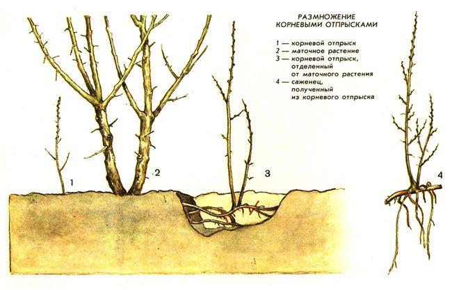 Размножение айвы корневыми отпрысками