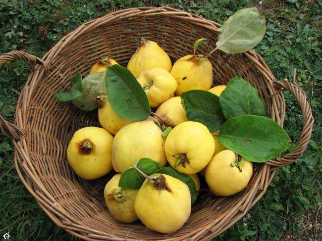 Сбор урожая осенью, хранение плодов
