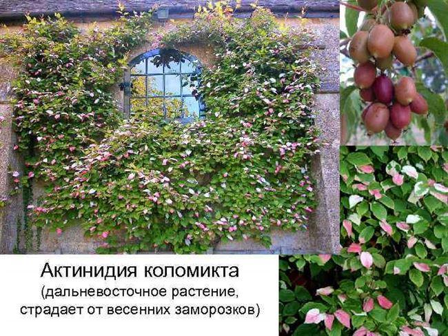 Актинидия коломикта, выращивание, выбор места, посадка и уход