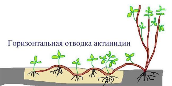 Размножение зелеными черенками