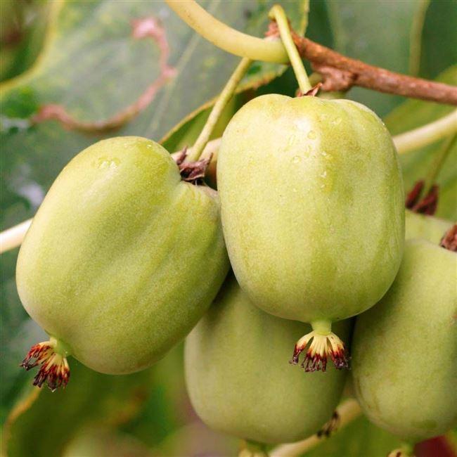 Хранение и переработка плодов