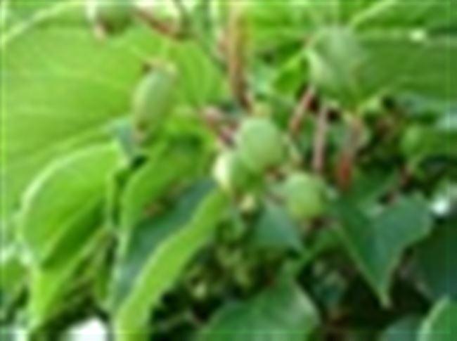 Осенняя посадка актинидии