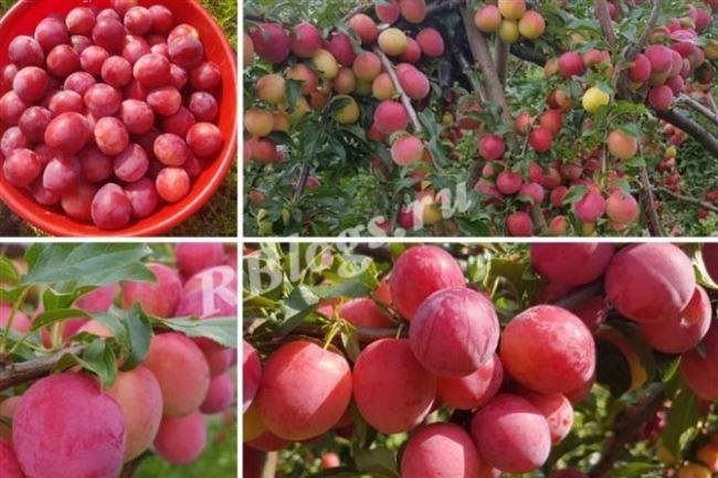 Урожайность, сбор и хранение