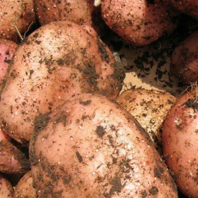 Описание сорта картофеля Метеор