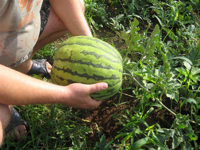 Сорта арбузов для выращивания на участке