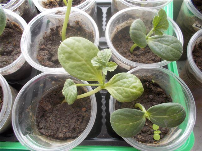 Подготовка и выращивание рассады