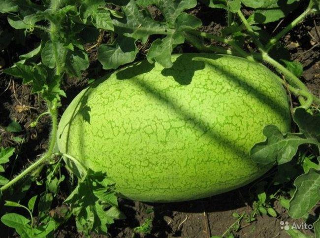 Какие сорта арбузов подойдут для Подмосковья?