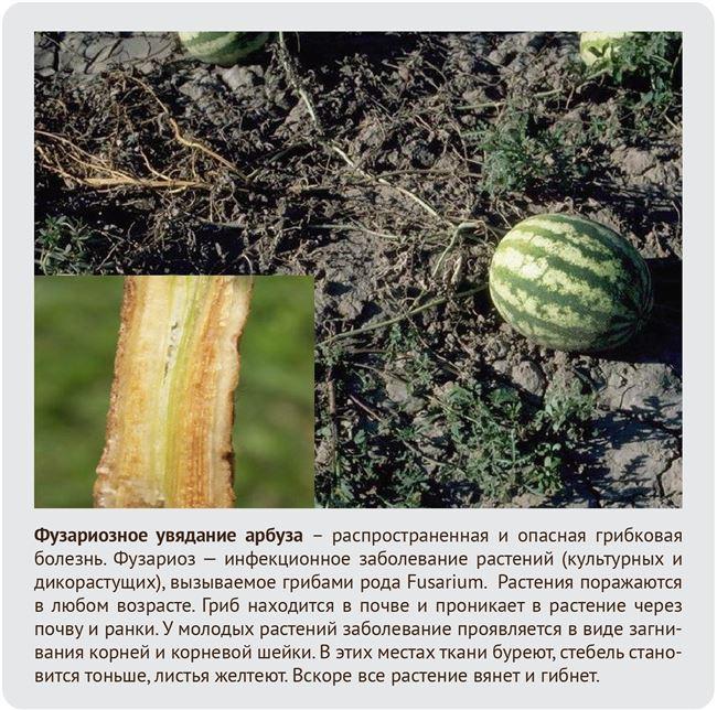 Признаки вредителей арбузов, профилактика и борьба