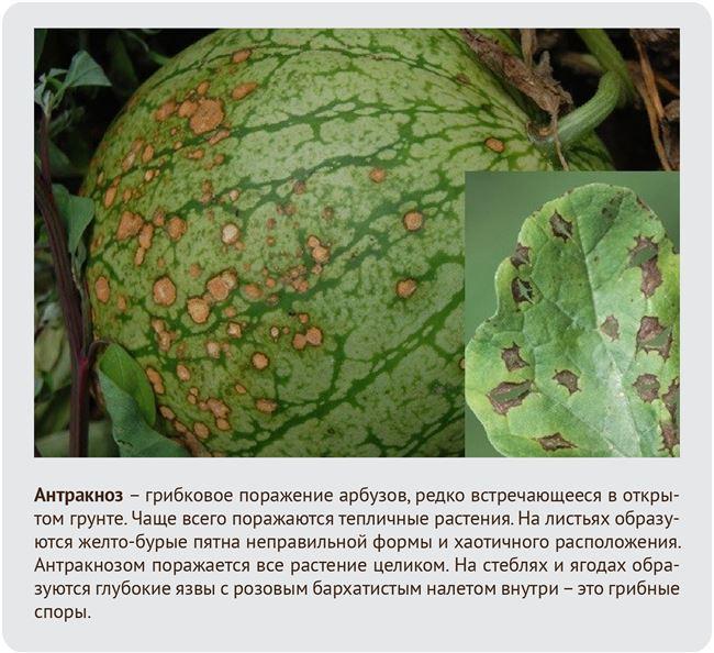 Болезни и вредители арбузов