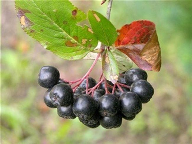 Болезни и вредители черноплодной рябины