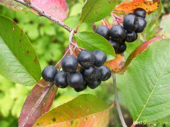 Ботаническое описание аронии черноплодной