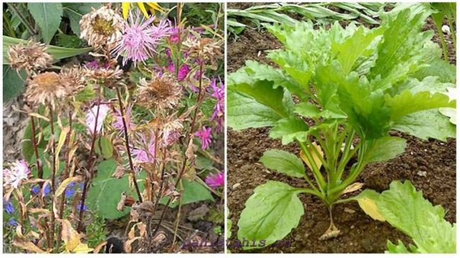 Болезни и вредители астры садовой
