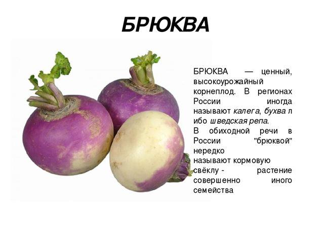 Овощ брюква – описание