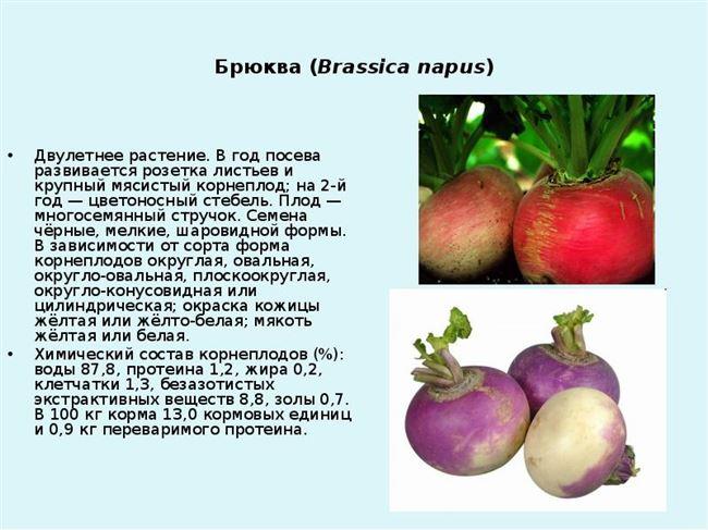 Описание и характеристики овоща