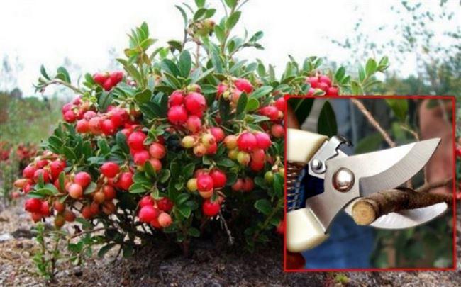Посадка и уход за садовой брусникой дома и в открытом грунте