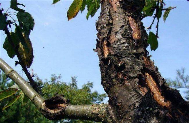Болезни дерева черешни