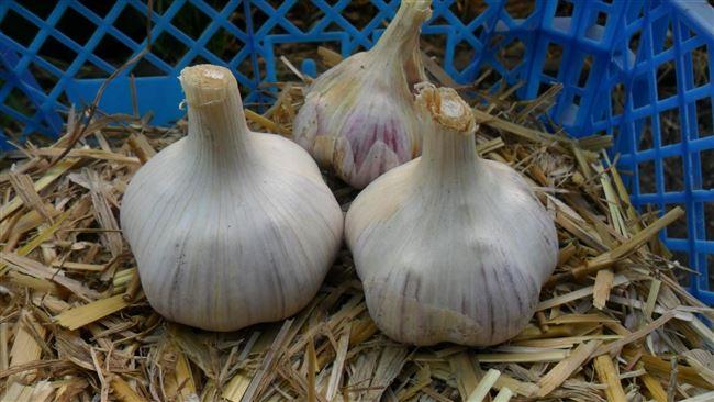 Чеснок Парус описание и характеристика сорта выращивание и уход с фото