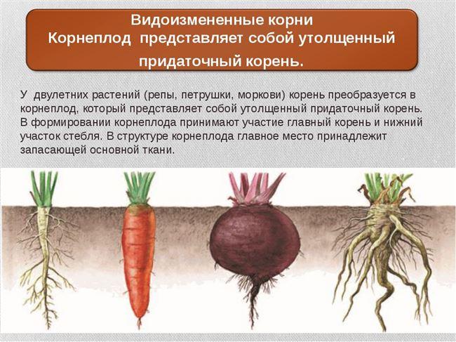 Подкормки и окучивание в период роста корнеплода