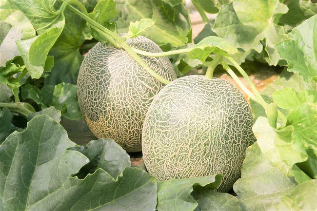 Видео «Правила выращивания дыни»