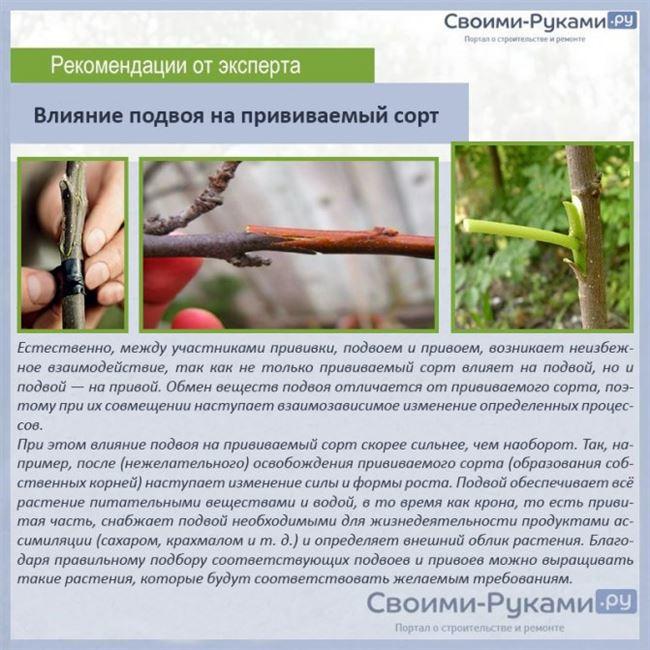 Подвой для дыни и пошаговая инструкция прививки