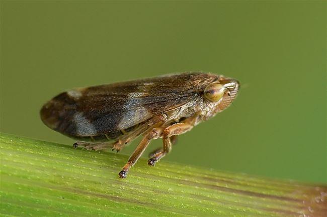 Слюнявая пенница (лат. Philaenus spumarius Larve)