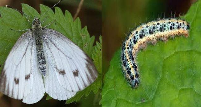 Гусеницы совки (лат. Noctuidae) и капустницы (лат. Pieris brassicae)