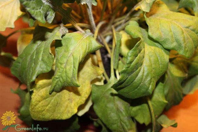 Описание заболеваний комнатного растения с фото, а также необходимое лечение