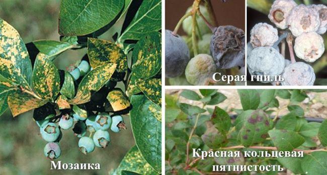 Причины болезней и нашествий насекомых на голубике