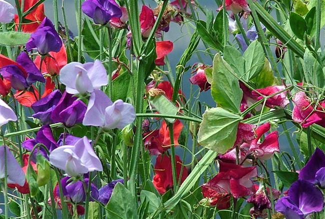 Уход за душистым горошком в саду