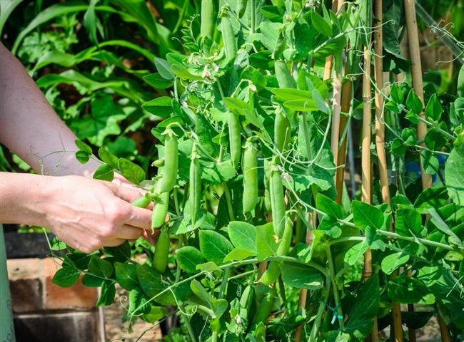 Выращивание гороха - видео