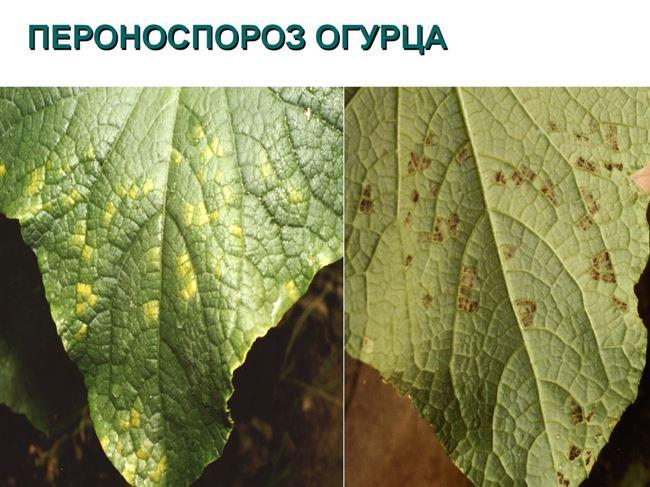 Фото пероноспороза на листьях огурцов